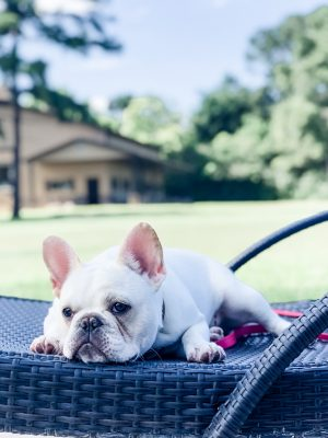 French Bulldog with Allergies